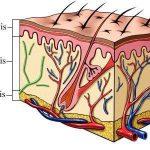 Las capas de nuestra piel