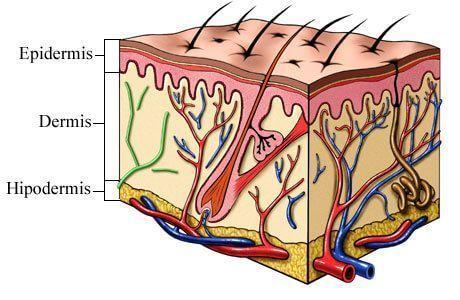 Las capas de nuestra piel | BlueCap